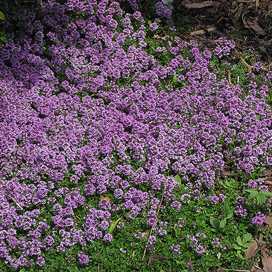 Thyme 'Purple Carpet' (Creeping Thyme)
