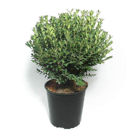 Boxwood Green Mountain (Buxus Green Mountain)