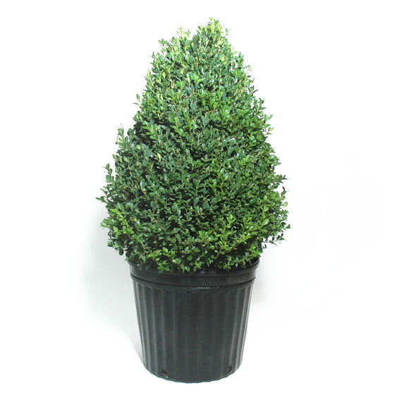 Boxwood Green Mountain Cone
