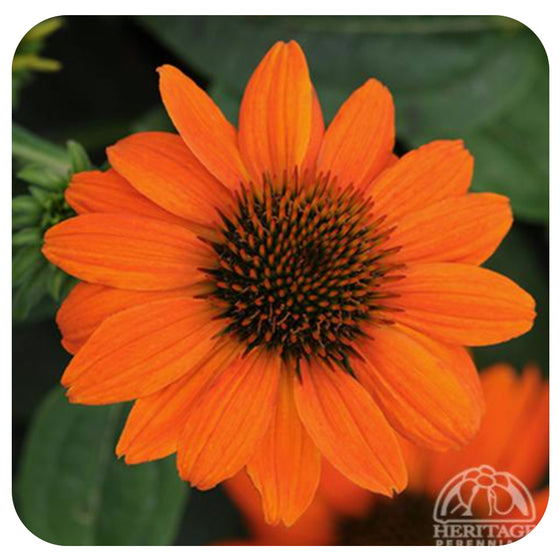 Echinacea Sombrero® Adobe Orange