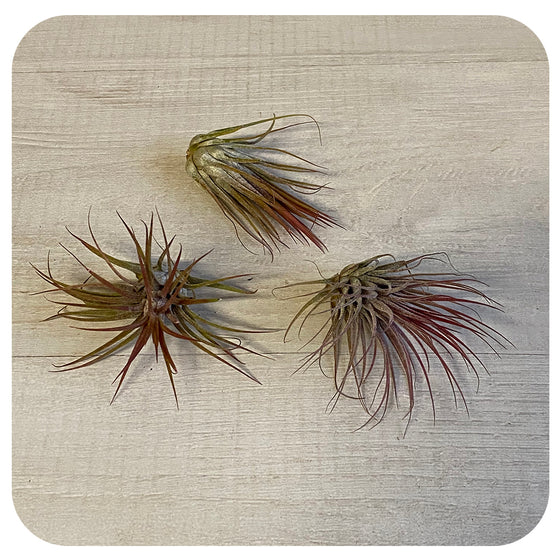 Ionantha Tillandsia Air Plant - Red