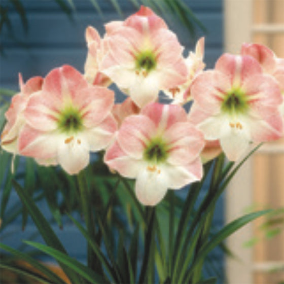 Amaryllis – Apple Blossom