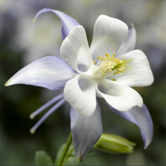 Columbine Kirigami Light Blue and White (Aquilegia caerulea)