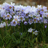 Arctic Jacob's Ladder (Polemonium boreale 'Heavenly Habit')