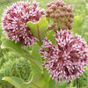 Common Milkweed (Asclepias Syriaca) NATIVE PERENNIAL