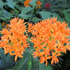 Butterfly Milkweed (Asclepias tuberosa) NATIVE PERENNIAL