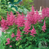 Astilbe 'Younique Lilac'