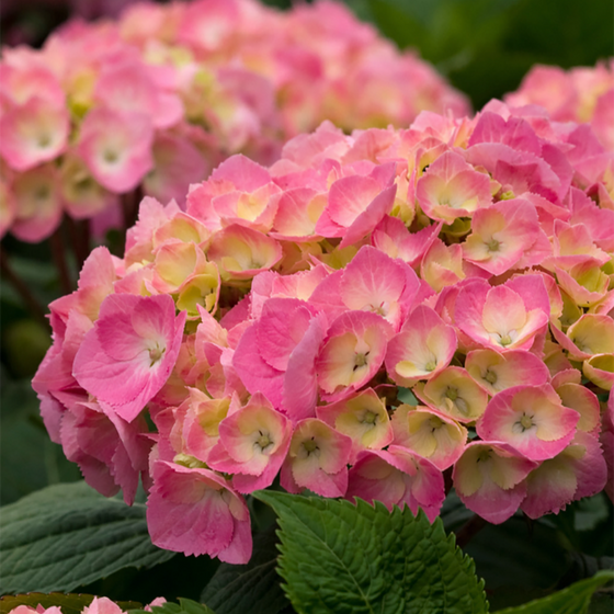 Let's Dance Big Easy Hydrangea by Proven Winners (Hydrangea macrophylla)