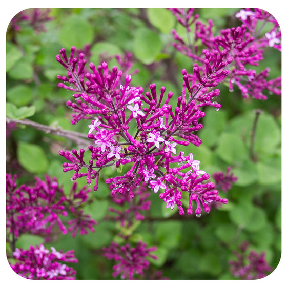 Lilac Bloomerang Dark Purple by Proven Winners (syringa)