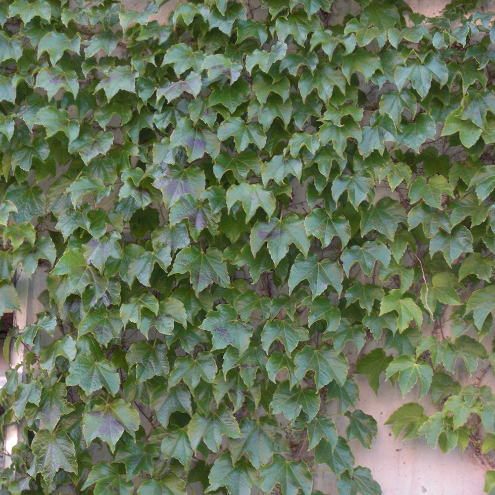 boston ivy parthenocissus tricuspidata 39 veitchii 39 davenport garden centre. Black Bedroom Furniture Sets. Home Design Ideas