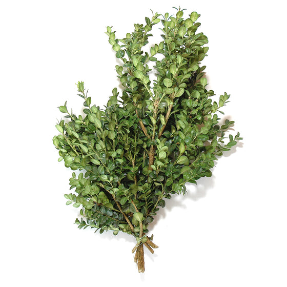 Boxwood Large Leaf