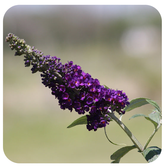 Butterfly Bush 'Black Knight' (Buddleia)
