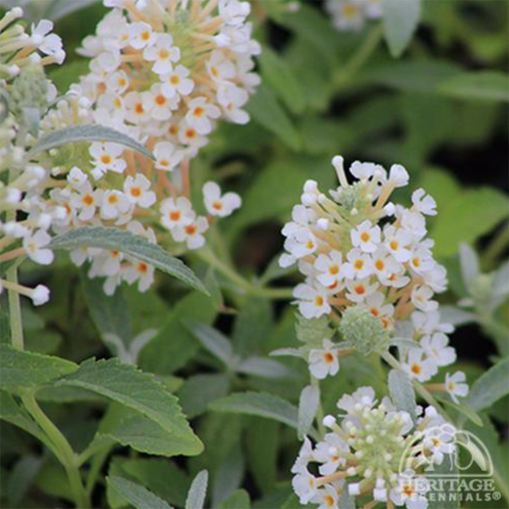 Butterfly Bush 'Buzz Ivory'