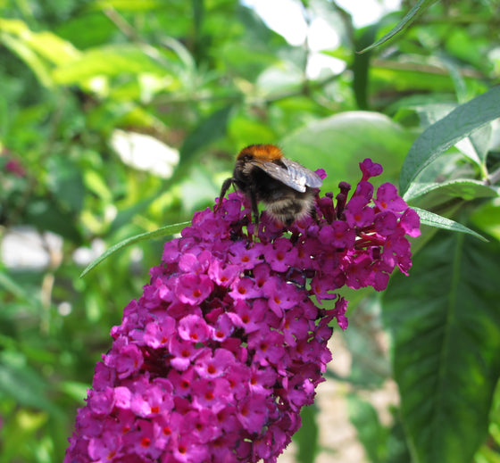 Butterfly Bush ' Prince Charming' (Buddleia)