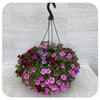 Hanging Basket Sun 35