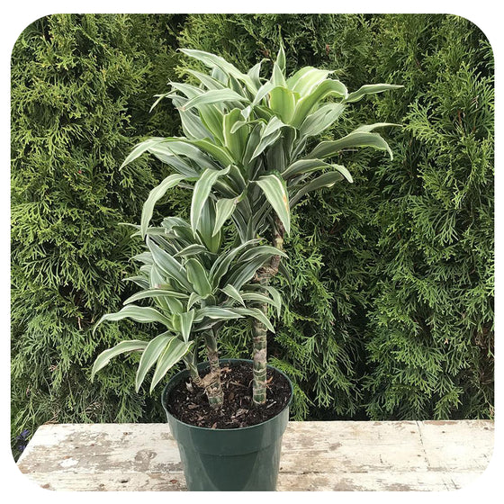 "6"" Dracaena White Jewel Cane"