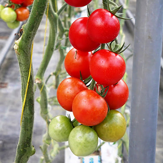 Red Cherry Tomato (Non-Organic)
