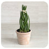 Snake Plant 'cylindrica' (Sansevieria cylindrica)
