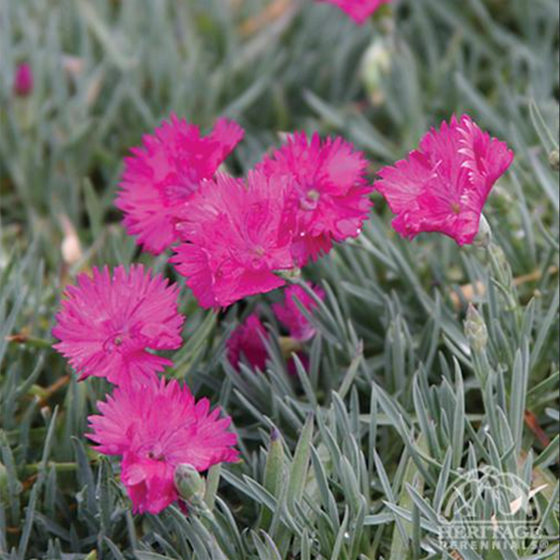 Dianthus Star™ Single 'Neon Star'