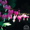 Dicentra spectabilis 'Alba' (Old Fashioned Bleeding Heart)