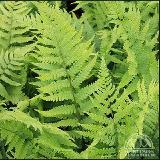 Dixie Wood Fern (Dryopteris × australis)