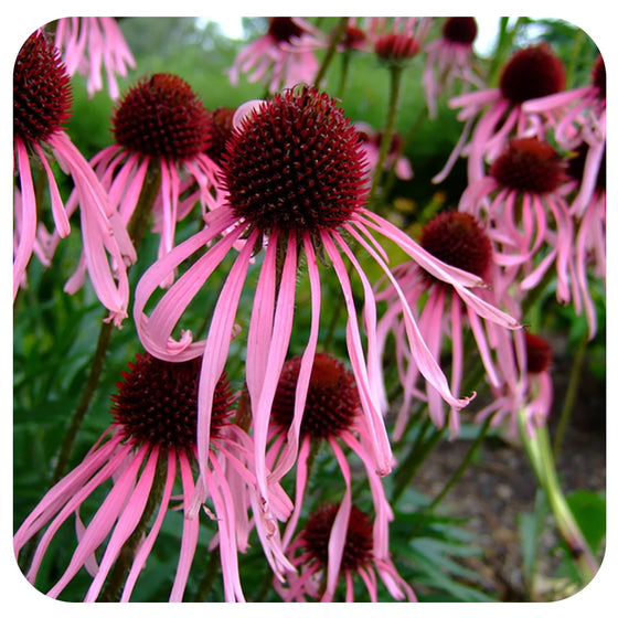Echinacea pallida (Pale Purple Coneflower) - NATIVE PERENNIAL