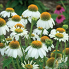 White Coneflower 'Powwow White' (Echinacea purpurea)