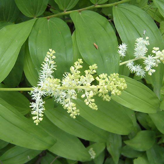 False Solomon's Seal (Sun Maianthemum racemosum) NATIVE PERENNIAL