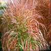 Flame Grass (Miscanthus Purpurascens)