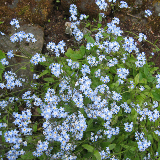 Forget-Me-Not (Myositis)
