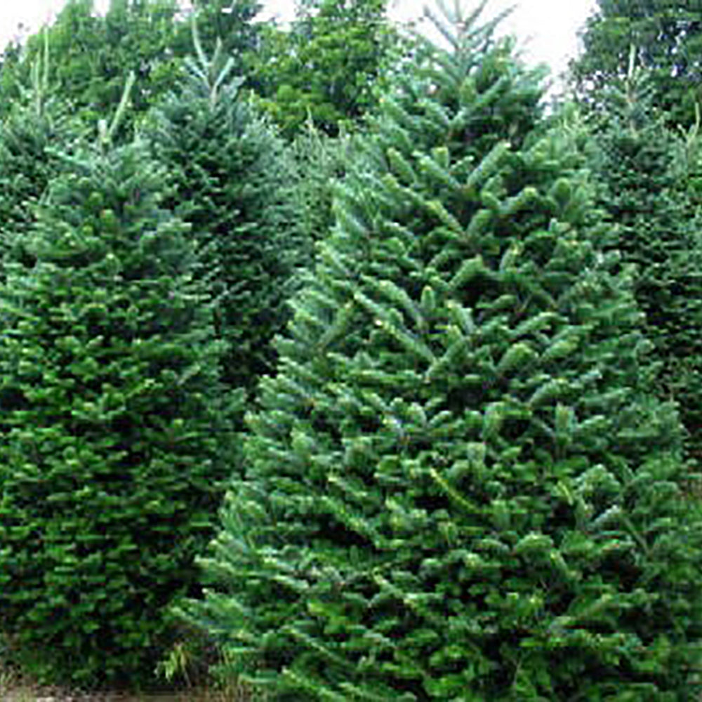 Christmas Trees Images.Fraser Fir Christmas Tree