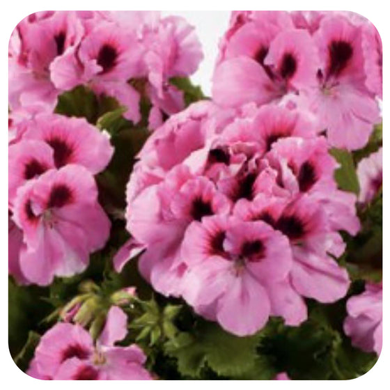 Geranium Regal - (Martha Washington)