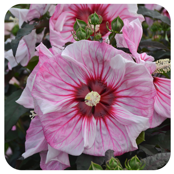 Hibiscus 'Summerific 'Cherry Choco Latte' by Proven Winners (Rose Mallow)