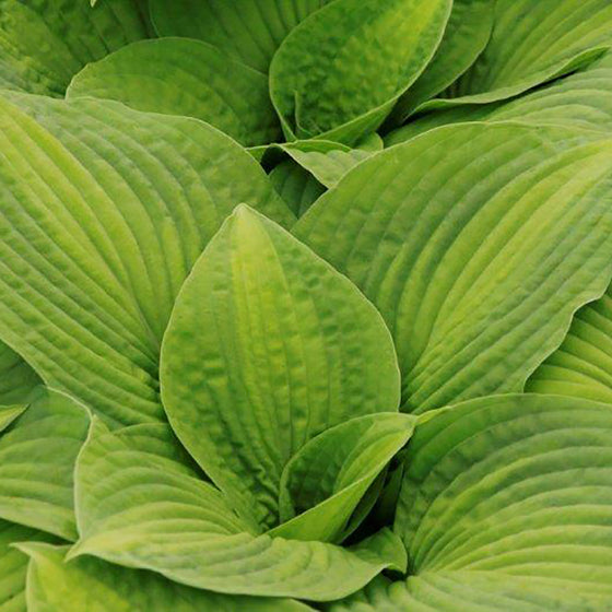Hosta Brother Stefan