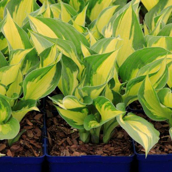 Hosta Coloured Hulk