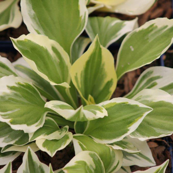 Hosta Diamonds Are Forever