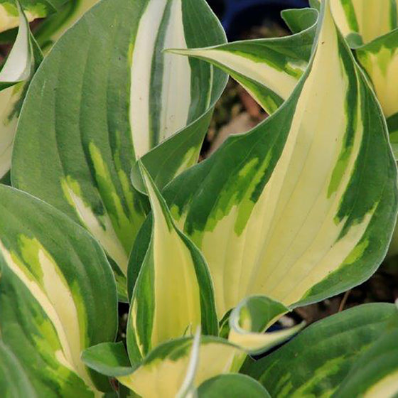 Hosta Loyalist