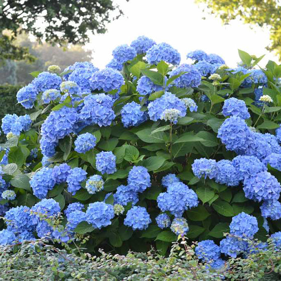 "Endless summer hydrangea (Hydrangea macrophylla 'Endless Summer"")"