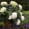 Endless Summer Hydrangea - Blushing Bride (Hydrangea macrophylla 'Blushing Bride')