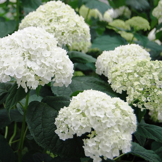 Incrediball Hydrangea (Hydrangea arborescens 'Incrediball') By Proven Winners
