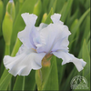 Iris 'Fathom' (Intermediate Bearded Iris)