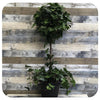 Ivy Spanish Canary Ball Topiary (Hedera Moroccana)