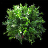 Kissing Ball - Boxwood