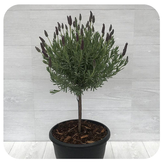 Spanish Lavender Tree