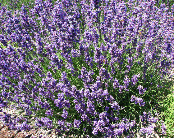 English Lavender (Lavandula Munstead)