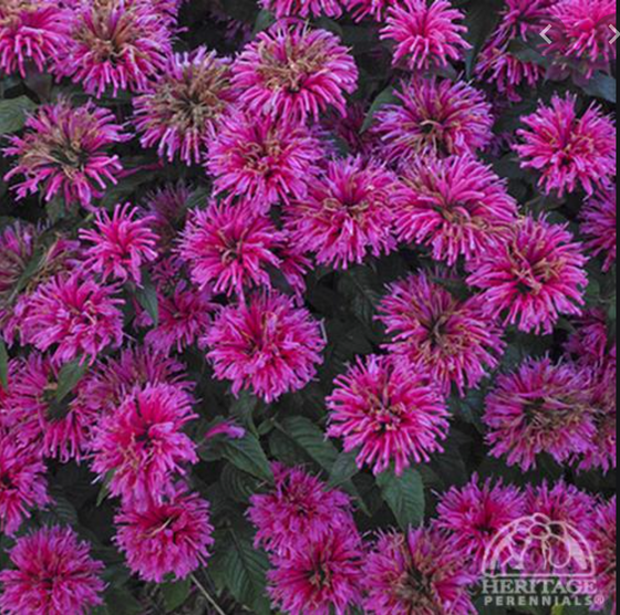 Monarda 'Grape Gumball' (Beebalm)