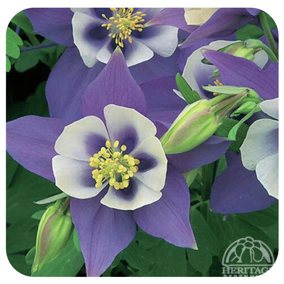Columbine Origami 'Blue and White' (Aquilegia caerulea)