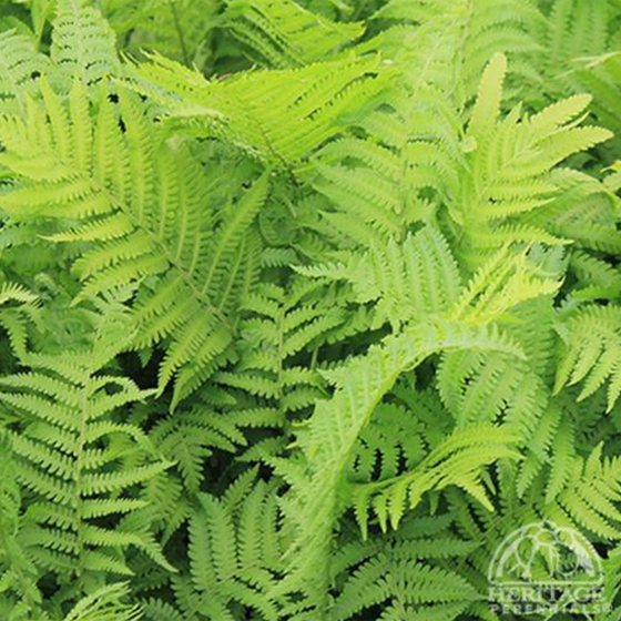 Ostrich Fern (Matteuccia struthiopteris 'The King')