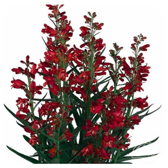"Penstemon Barbatus ""Pristine Scarlet"" Beard-Tongue"