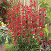 "Penstemon Schmidel ""Red Riding Hood"" (Beard-Tongue Red Riding Hood)"